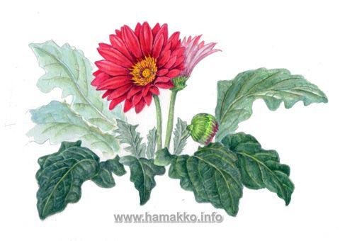 Botanical Art, Botanical painting, Flower painting. Gerbera ...