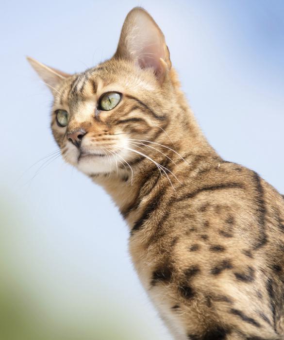 10 Bengal Cat Facts Cat facts, Cats, Bengal kitten