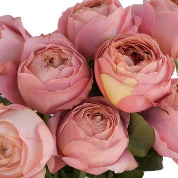 Cabbage Garden Rose Romantic Antique Pink L Rose