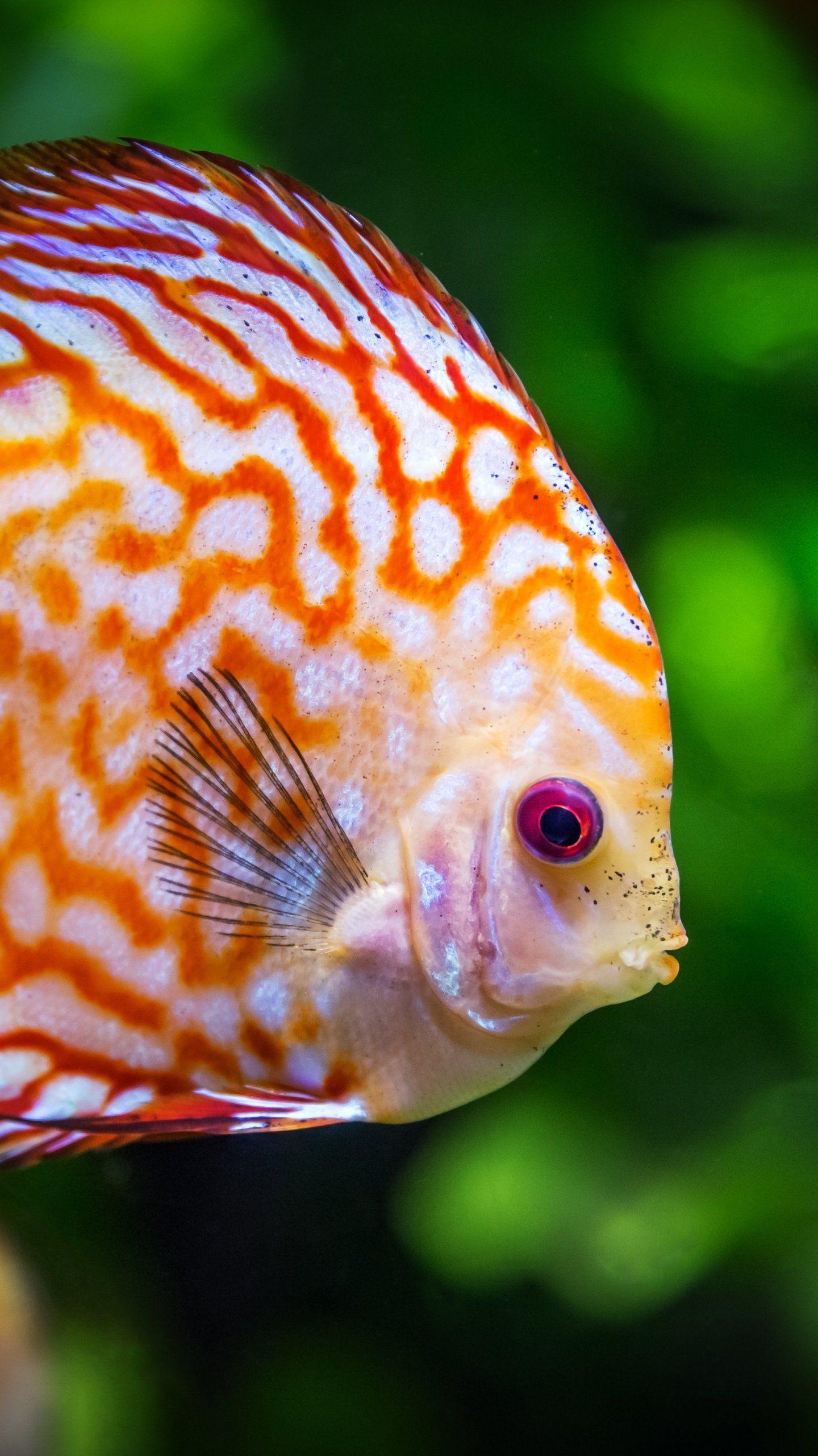Discus Fish Underwater Wallpaper iPhone, Android