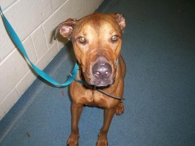 Florida Urg T Meet Id A1521162 A Neutered 2 Year Old Red Hound