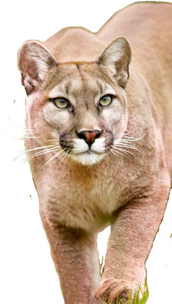 About The Mountain Lion Foundation Mountain Lion Lion Images Big Cats