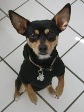 Rat Terrier Chihuahua Mix Idcr