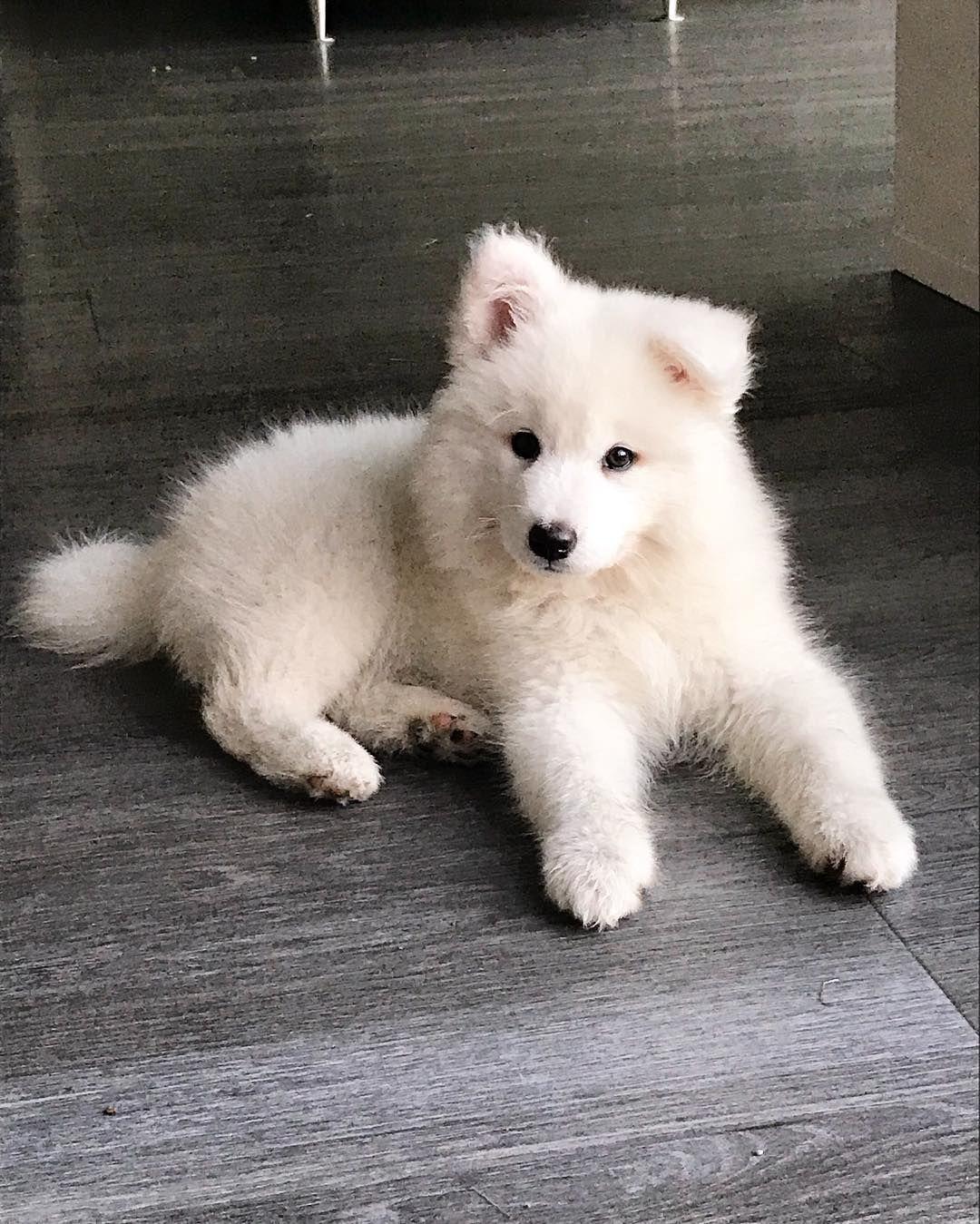 Juna Eisbar Welpe Hund Puppy Dog Samojede Samojed Dog Sweet Cute Baby Animals Bear Puppy Fluffy Dogs