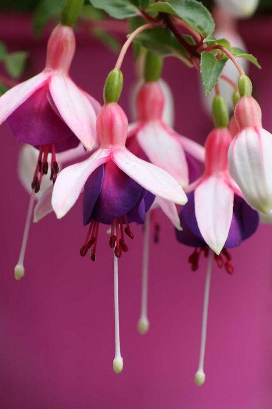 Bright fuschia bloms
