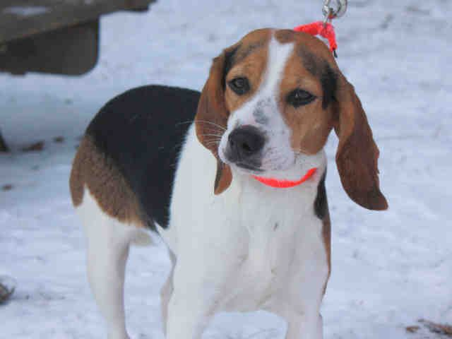 Ohio Little Debbie Id A058752 Is A Spayed 1yo Tricolor Beagle In