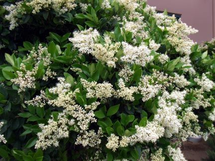 White flowers that smell good flower shop near me flower shop page the white petunias chionanthus virginicus fringe tree chionanthus virginicus fringe tree fragrant tree white flowers fragrant flowers berries sweet mightylinksfo