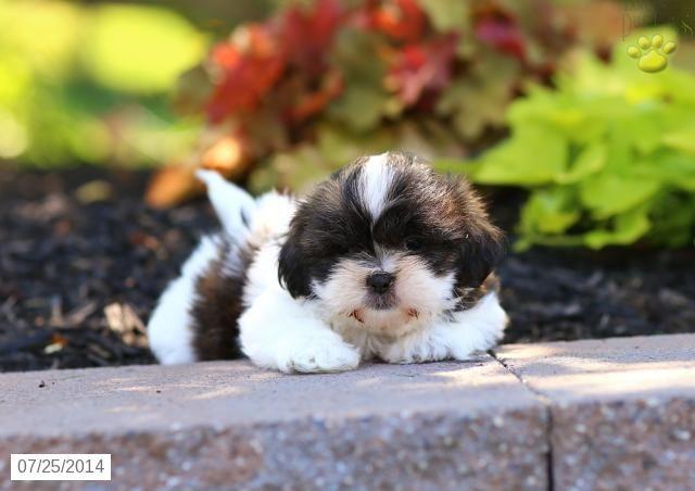 Shih Tzu Puppy For Sale In Pennsylvania Shih Tzu Puppies Shih