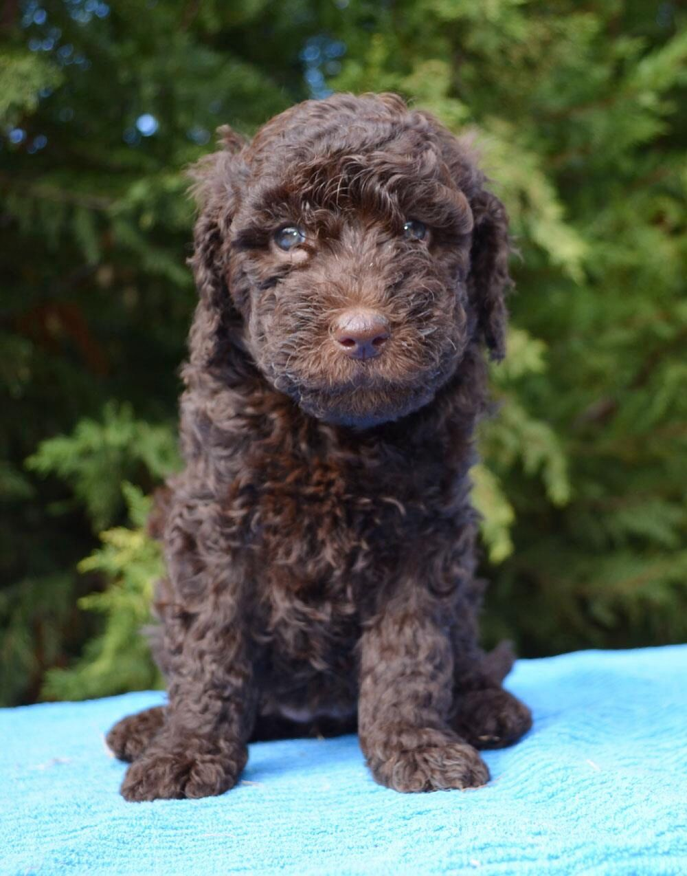 Chocolate Groodle Goldendoodle Retrodoodle pinned by