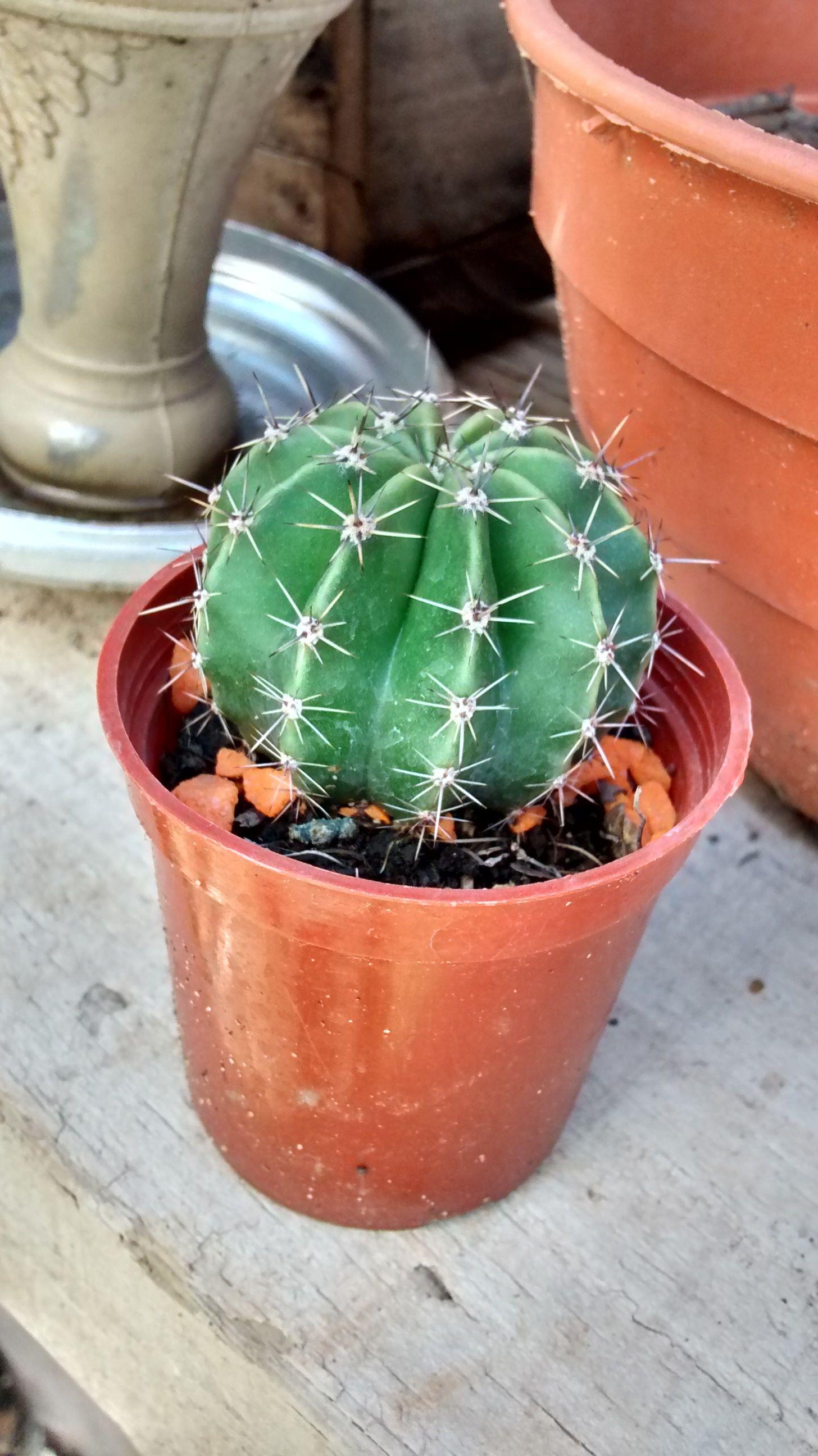 regalo de mes aniversario (18/09/14) viviero: Henandarias #cactus 04/11/14(foto)
