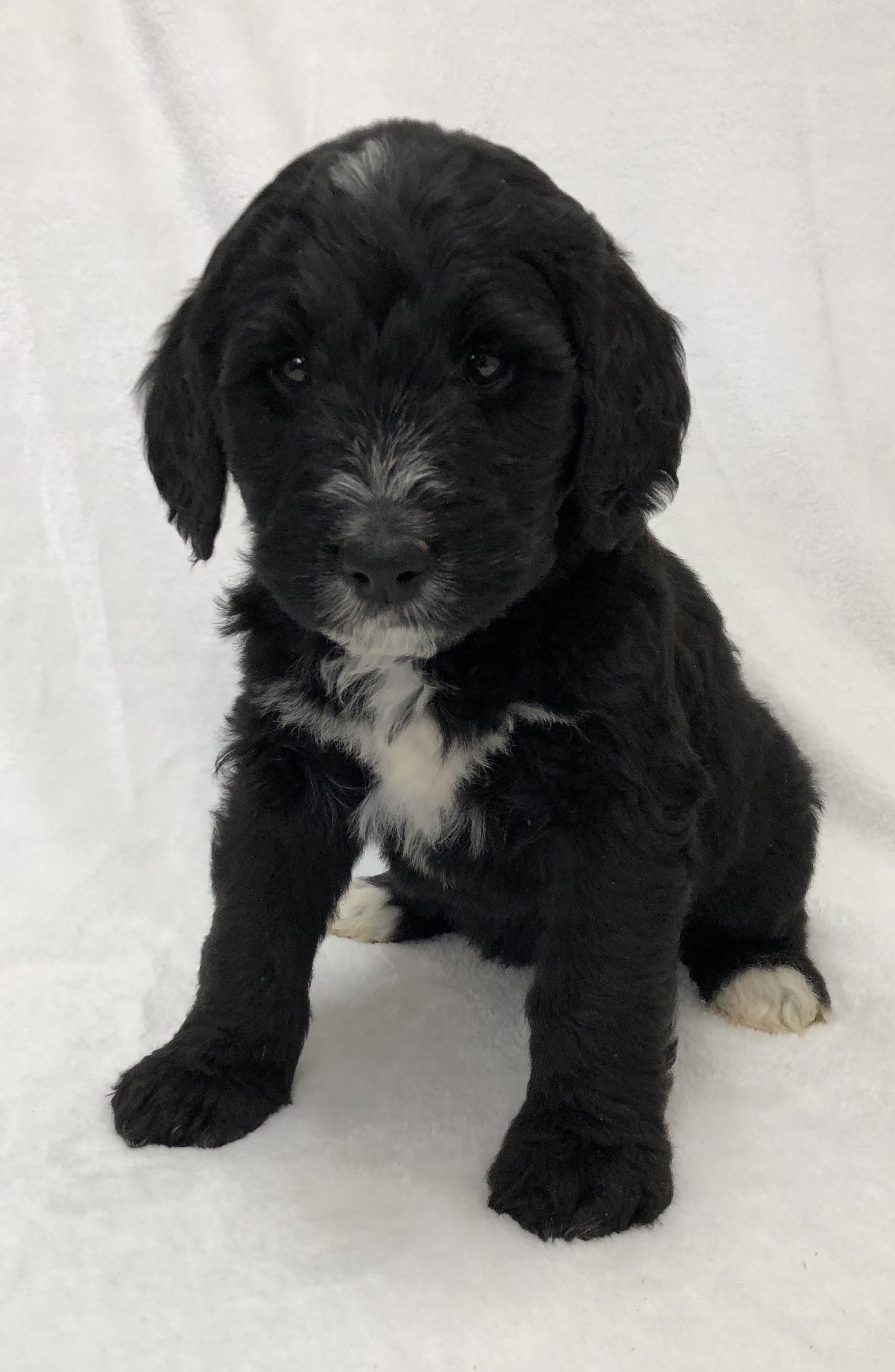 Oreo a male Bernedoodle puppy for sale from West