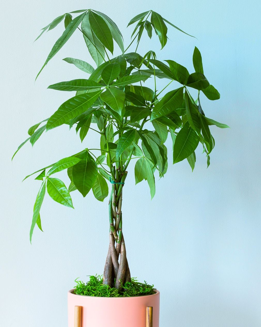 Braided Money Tree In 2021 Plant Care Houseplant Money Tree Plant Garden Plant Stand