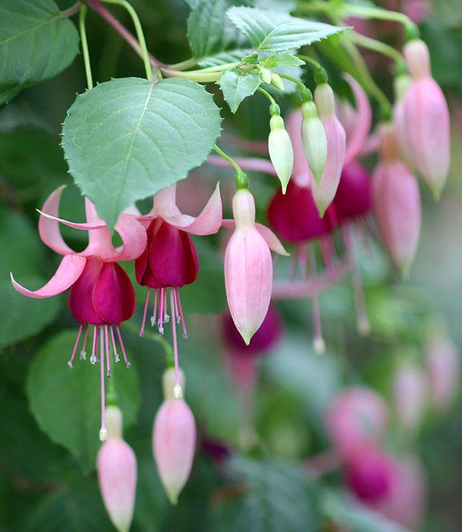 Outdoor Cultivation Fuchsia Plants Ekzoticheskie Cvety Cvety Komnatnye Cvety