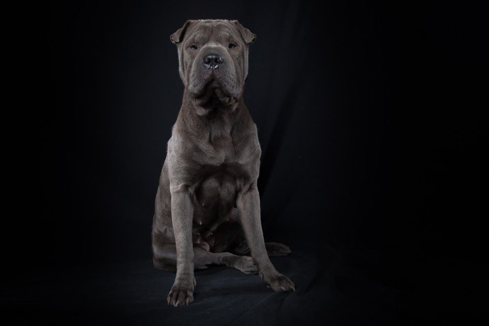 Meet Blue One Of Our Other Females Breed Sharbull Shar Pei