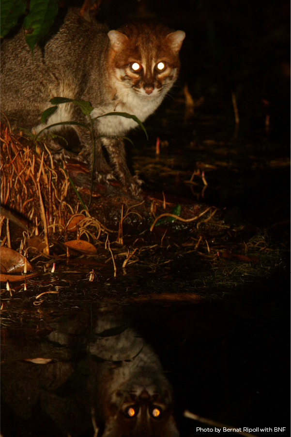 Flatheaded Cats live in the forests and rainforests of