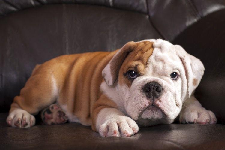 Top Ten Couch Potato Dogs Dogs Potato Dog Bulldog