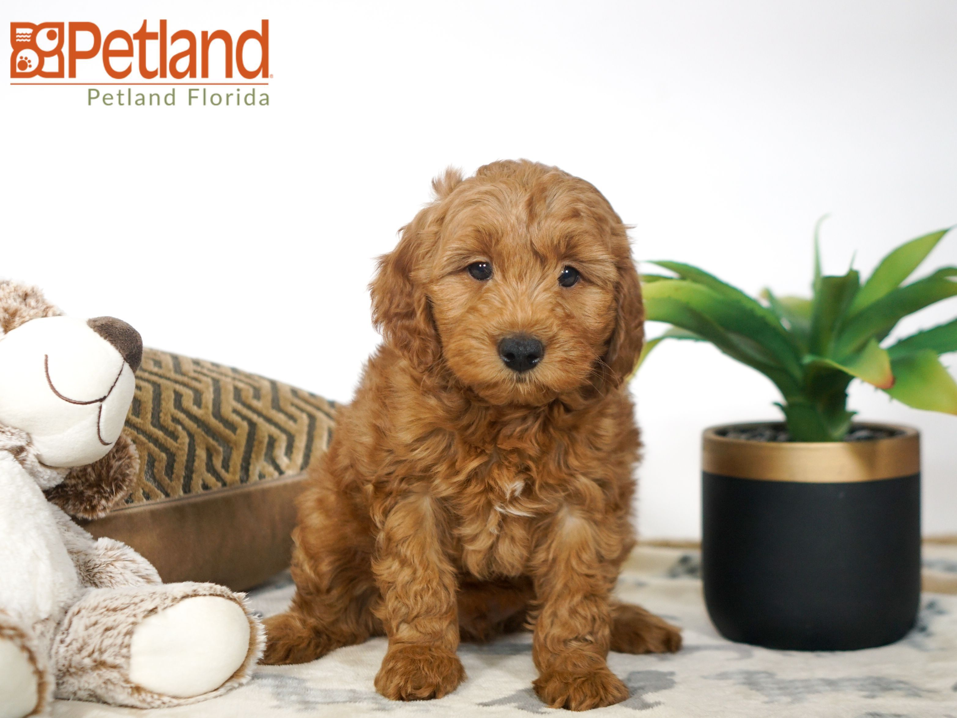 Puppies For Sale Goldendoodle Puppy For Sale Puppies Miniature