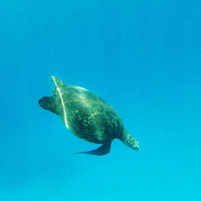 Esta tortuga marina nos enseñó el camino hacia la gran barrera de coral.  #coral #turtle #reef #granbarreradecoral #greatbarrierreef #cairns #australia #instatravel #instagood #love #viajacadadia #lavueltaalmundo #lavoltaalmon #travel #aroundtheworld #viatjar #viajar #catalanspelmon #viajeros #traveling #picoftheday #photooftheday #natgeoesp #natgeo by viajacadadia http://ift.tt/1UokkV2