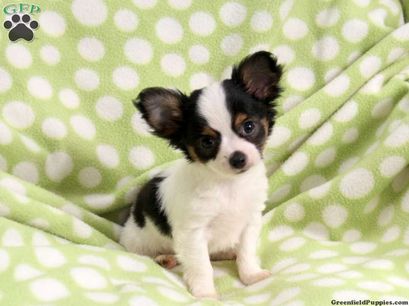 Teddy Chihuahua Puppy For Sale From Paradise Pa Chihuahua