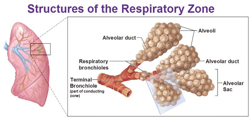 structures of respiratory zone, alveoli, alveolar duct, alceolar sac ...