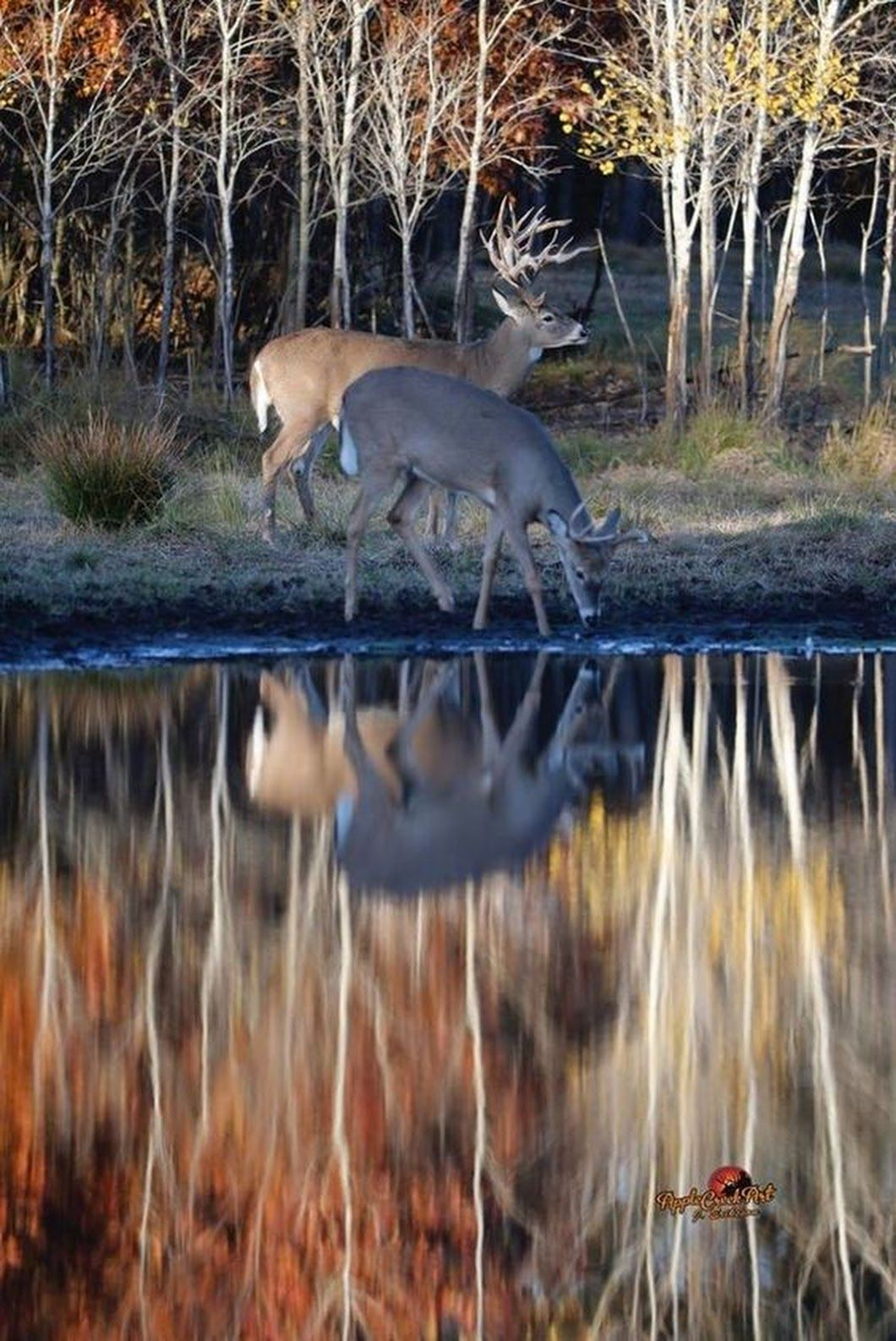 Apple Creek Whitetails... ️ (With images) Deer photos