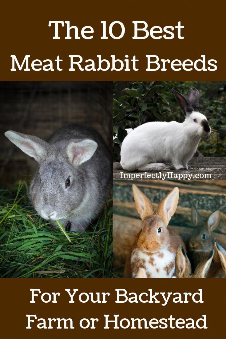 The 10 Best Meat Rabbit Breeds for Your Backyard Farm or ...