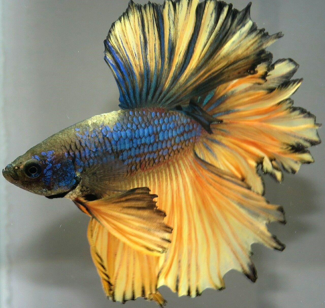 AquaBid.com - ***Blue-Mustard-Feather***HM-Male ***