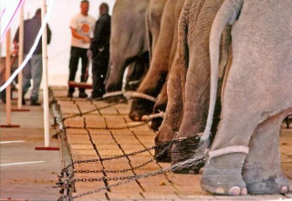 This article explains why I hate and do not support any animal type circus PERIOD!!! The animals are horribly abused, and all these circuses need to be put out of business PERMANENTLY!!! Ringling Brothers Should Put Money Where Mouth Is