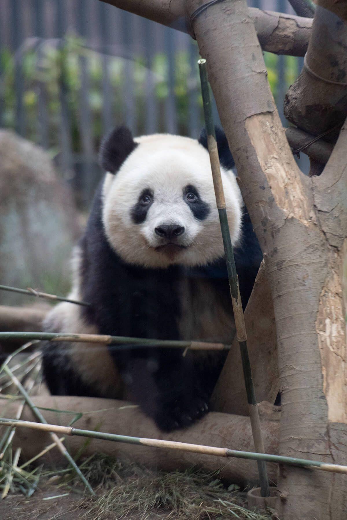 今日のパンダ 2417日目 毎日パンダ パンダ 上野動物園 パンダ パンダ かわいい