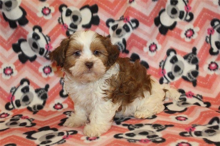Kimis Precious Treasures Kimi Precious Puppies For Sale