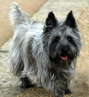 Cairn Terrier (yes, just like Toto). Smartest small breed around.