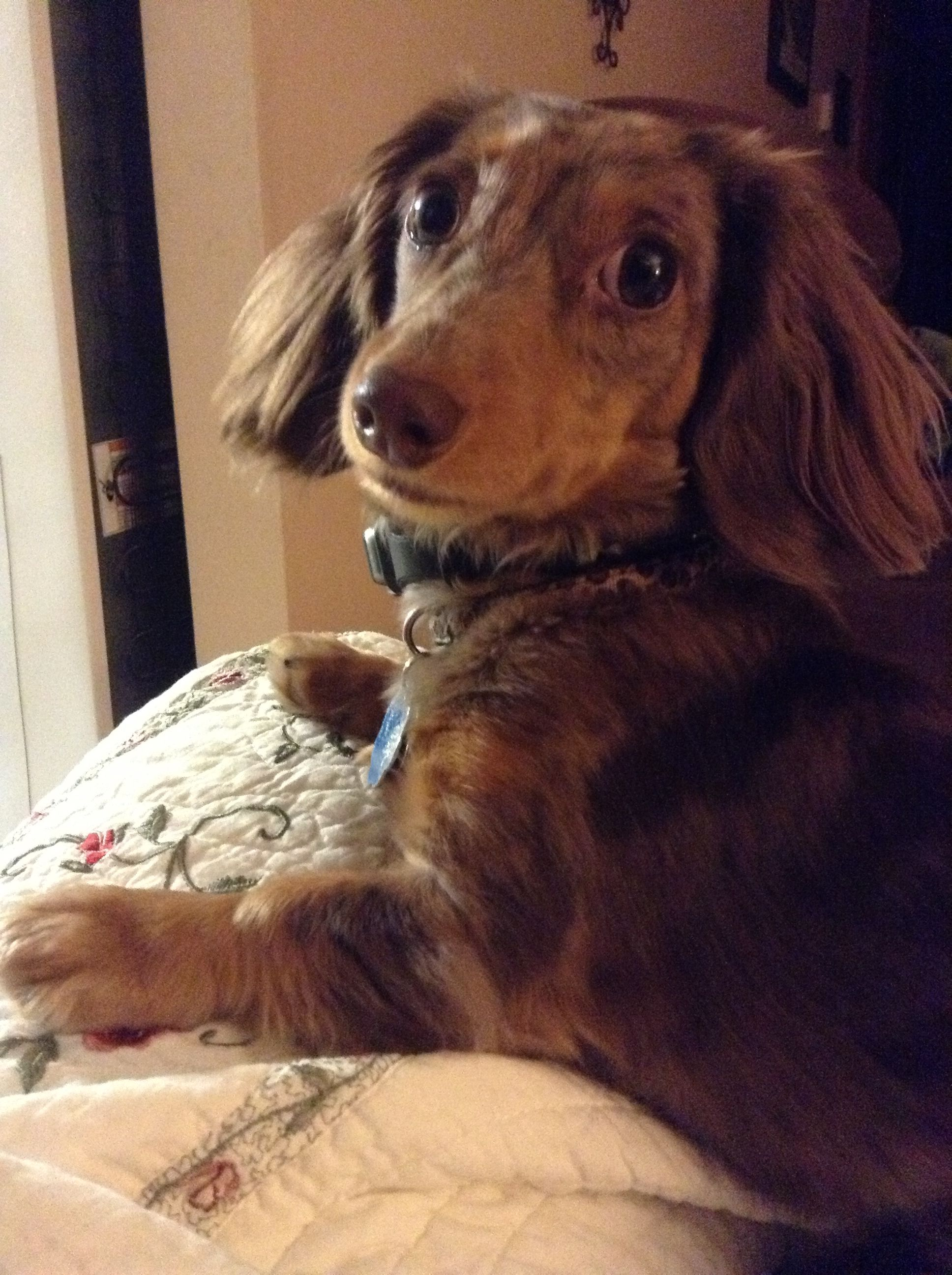 Chocolate And Tan Dapple Mini Long Haired Dachshund Her Name Is