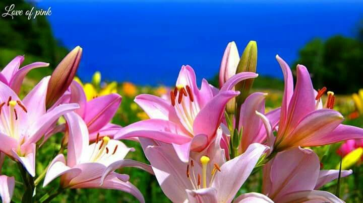 Flowers lily wallpaper lily pictures lily
