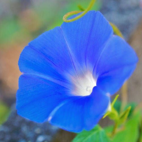 What Is The Meaning Of The Morning Glory Flower Morning Glory Flowers Morning Glory Morning Glory Vine