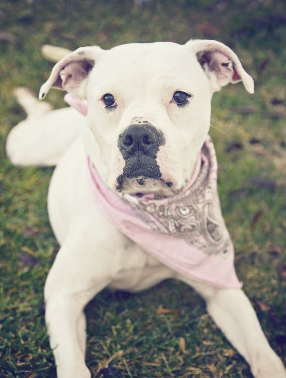 Alana The American Bulldog Available Through American Bulldog Rescue In Nj She S About A Year Old Who American Bulldog American Bulldog Rescue Pitbull Puppies