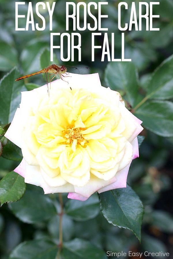 Simple Rose Garden: EASY ROSE CARE FOR FALL