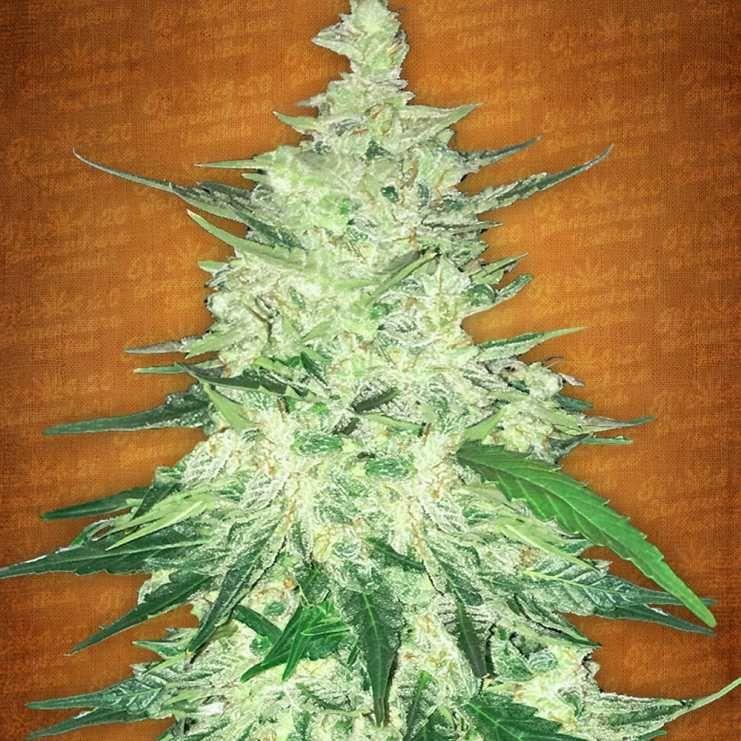 Fast buds auto flower - cbd crack (5f) | StonerS | Cannabis