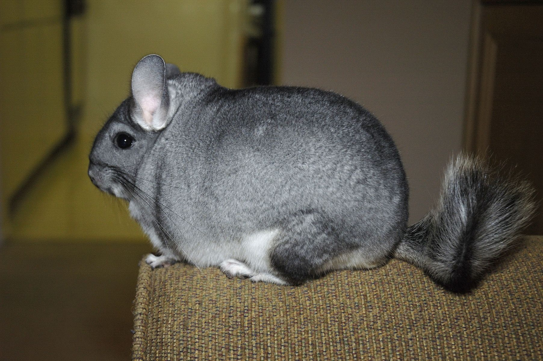 fact chinchillas are the cutest things in the whole