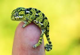 baby jackson chameleon - Google Search