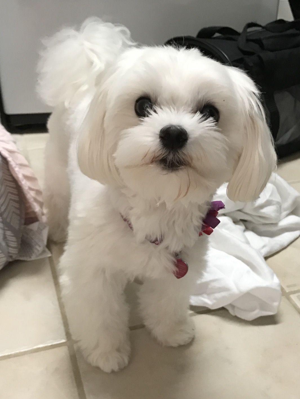Pretty Girl Maltese Maltese Dogs Maltese Maltese Shih Tzu
