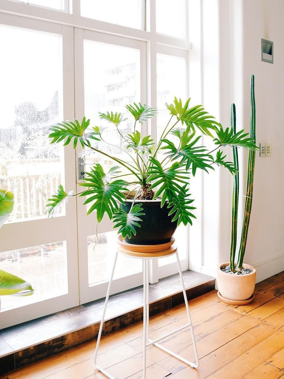 How to take care of a philodendron xanadu the lush leafy
