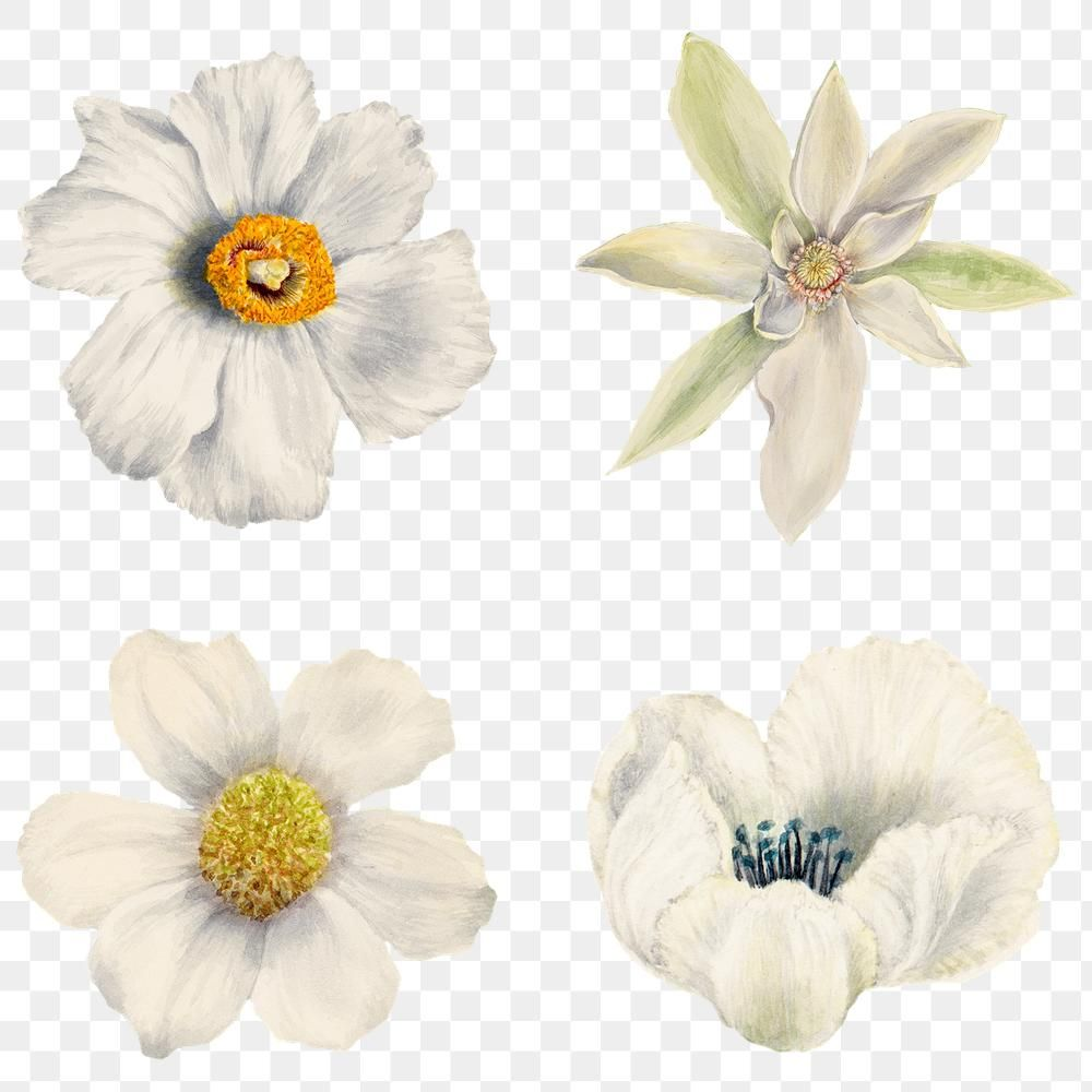 Hand Drawn White Flowers Png Floral Sticker Set Free Image By Rawpixel Com Adj Flower Drawing White Flower Png Artsy Background