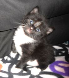 Pandora Is An Adoptable Tuxedo Cat In Pelham Al Meet Pandora She Is A 4 Week Old Kitten Who Was Rescued Along With Her Litter She Wi Tuxedo Cat Cats Kitten