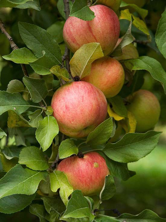 Top Fruit Trees For The Midwest Fruit Garden Growing Fruit Trees Fruit Trees Backyard