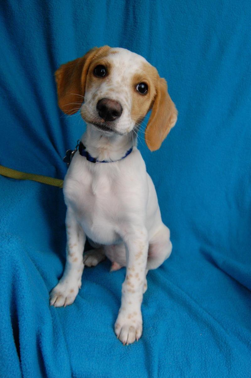 Adopt otis on animal rescue beagle mix otis