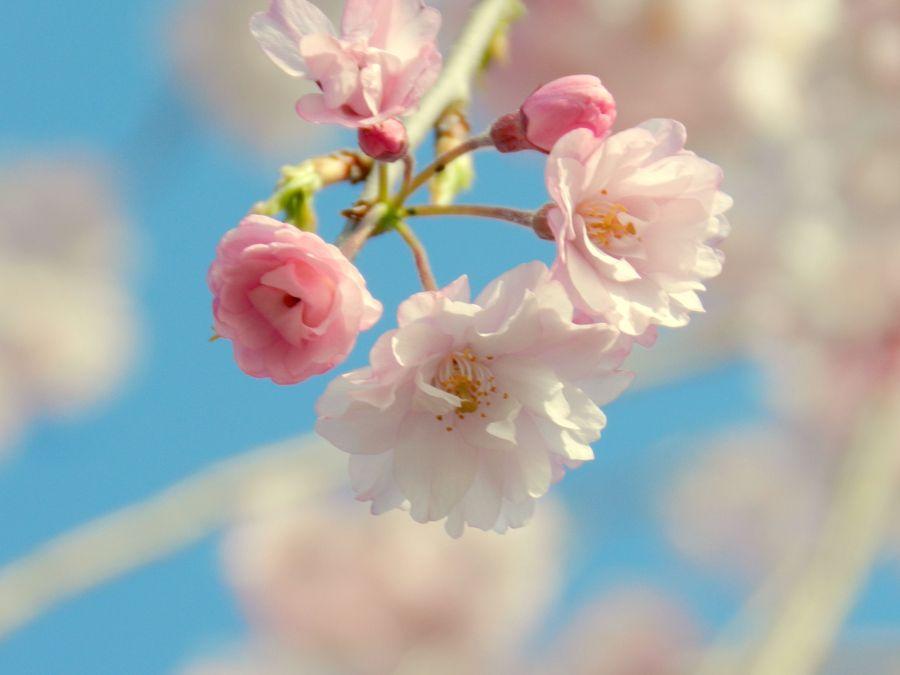 Sakura by Marcela de Lima