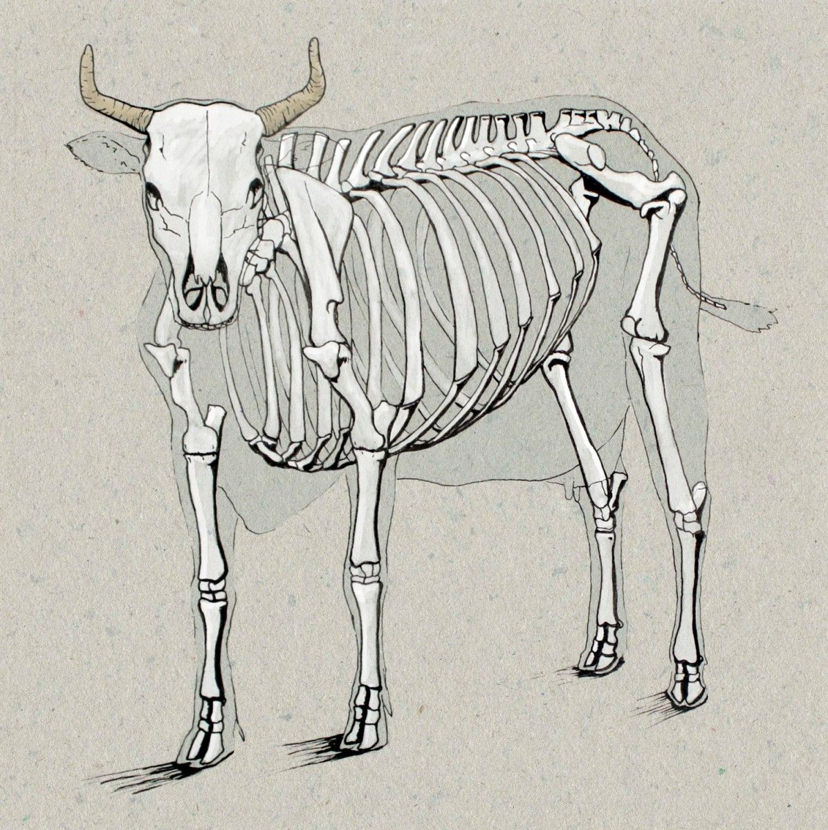 cow anatomy drawing [ 1197 x 1200 Pixel ]