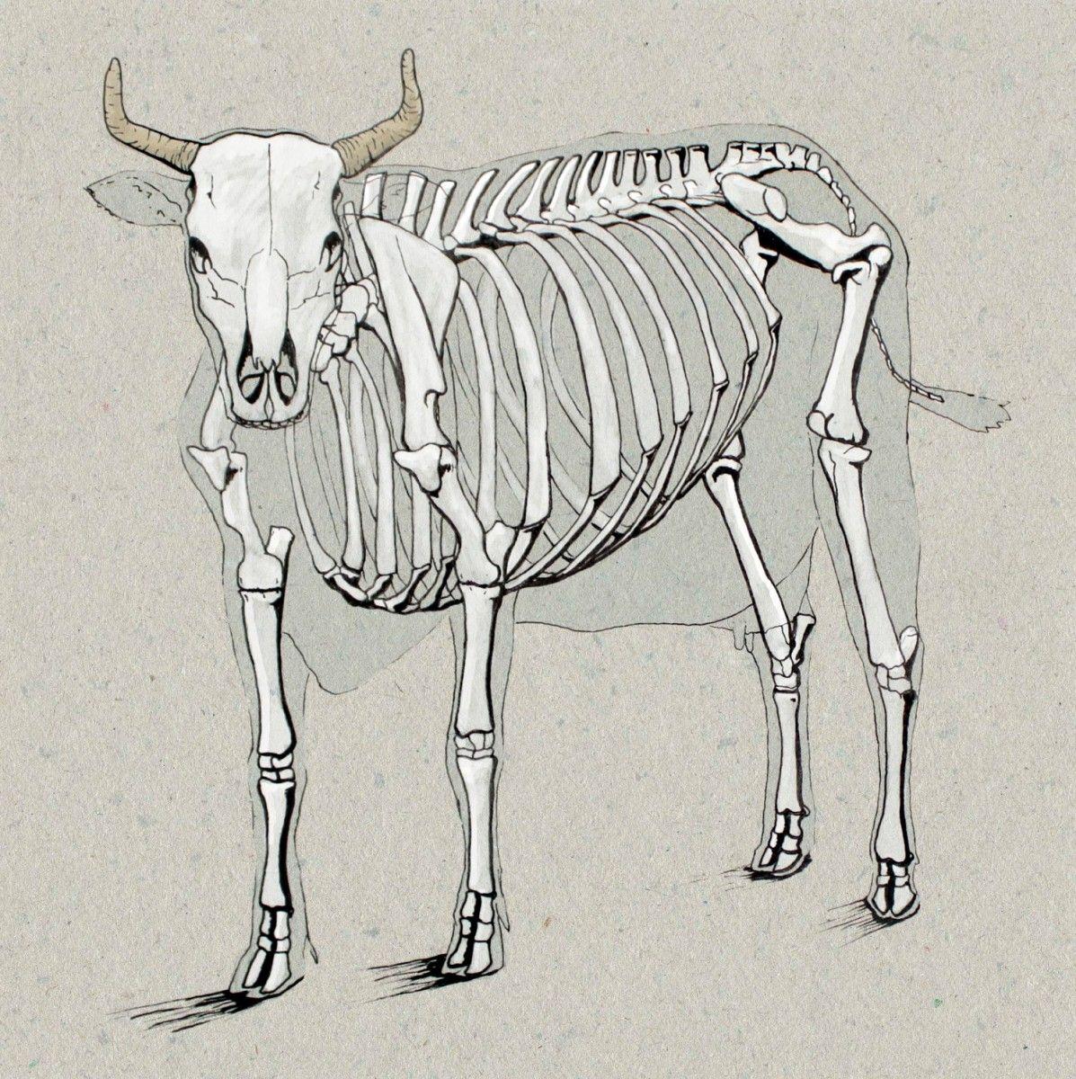 Cow Anatomy Drawing | Anatomy Drawings | Pinterest | Anatomy drawing ...