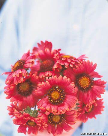 Fall perennials perennials flower and plants burgundy blanket flower is a tall bushy perennial that bears wine red mightylinksfo Choice Image