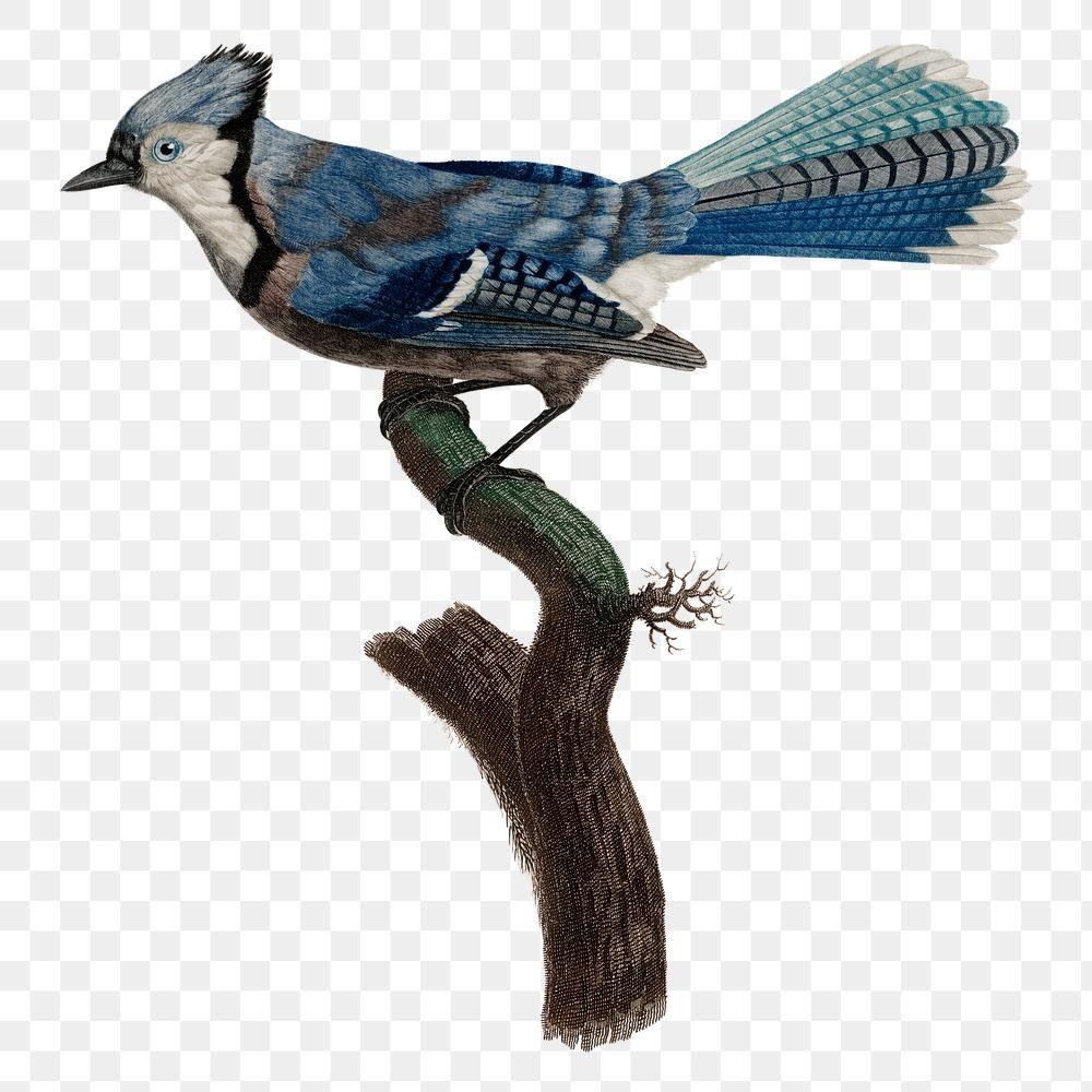 Vintage Blue Jay Bird Sticker Png Hand Drawn Premium Image By Rawpixel Com Namcha Blue Jay Bird Jay Bird Bird